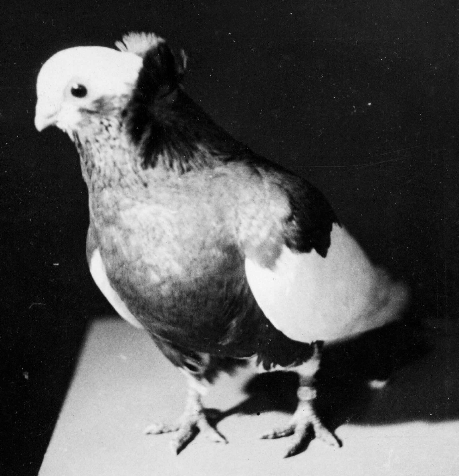 Petra Feriancová, Series Creator – From the Archive of O. Ferianc, New Breeds 1949-1952, 2008, (107/112)