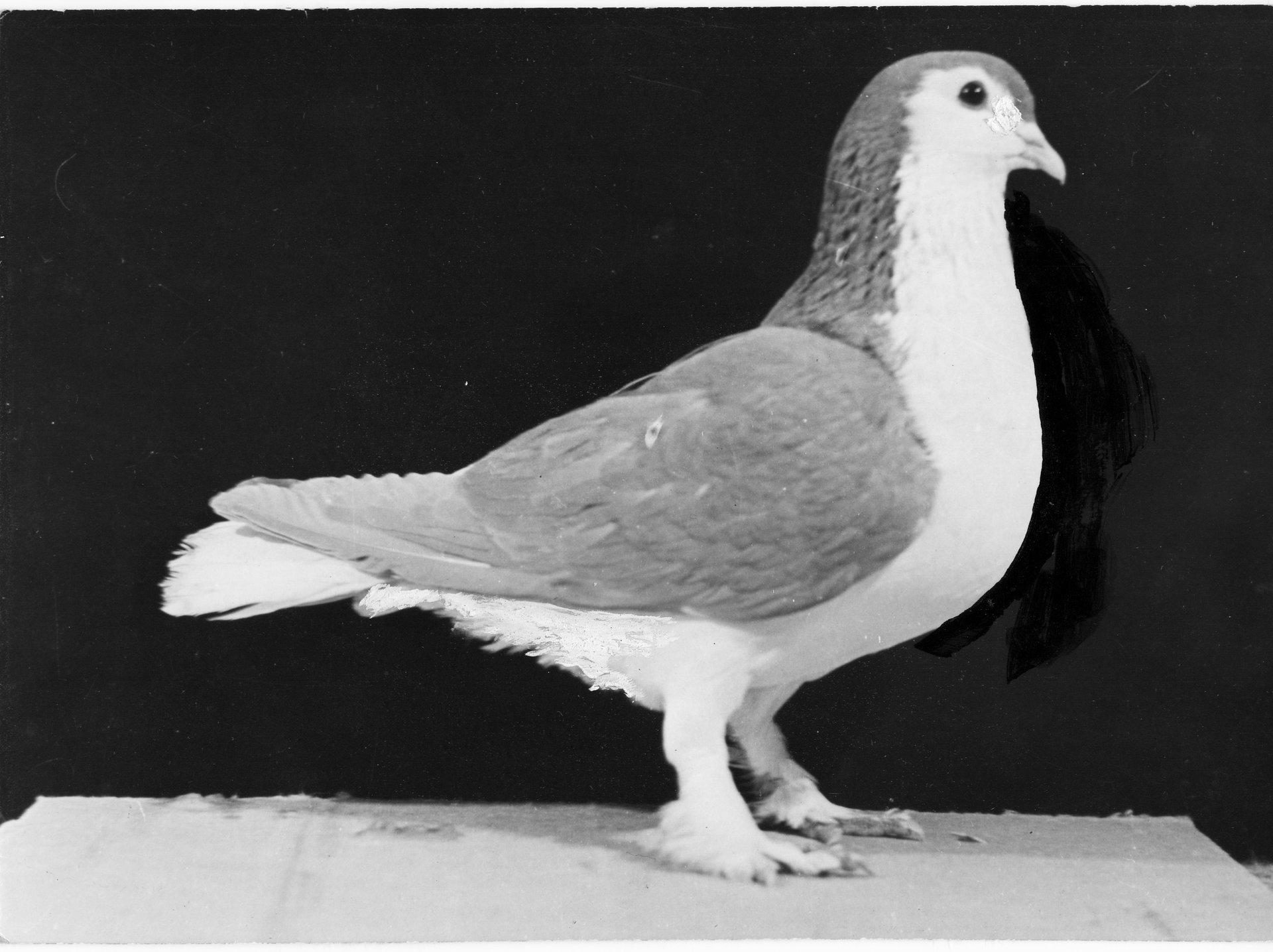 Petra Feriancová, Series Creator – From the Archive of O. Ferianc, New Breeds 1949-1952, 2008, (105/112)