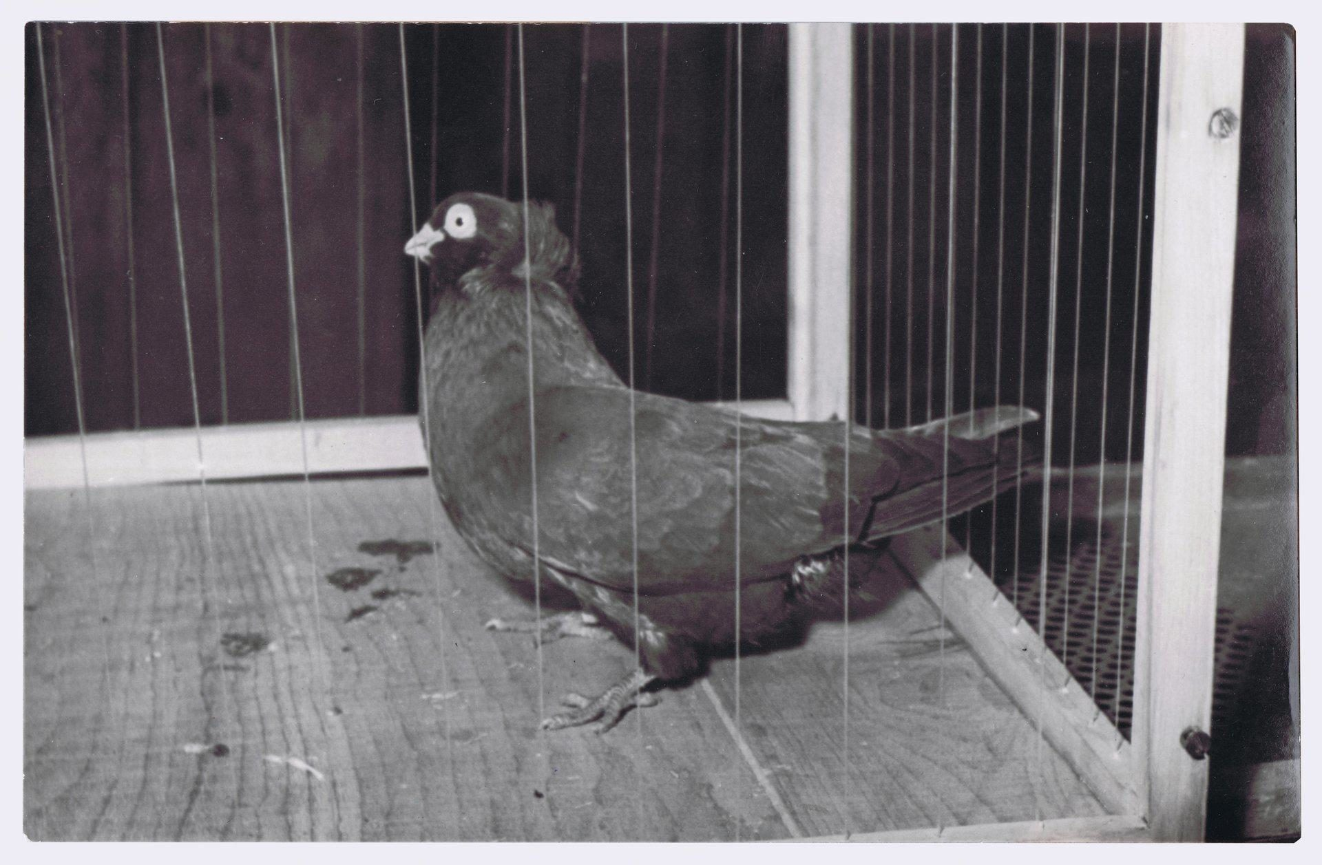 Petra Feriancová, Series Creator – From the Archive of O. Ferianc, New Breeds 1949-1952, 2008, (4/112)