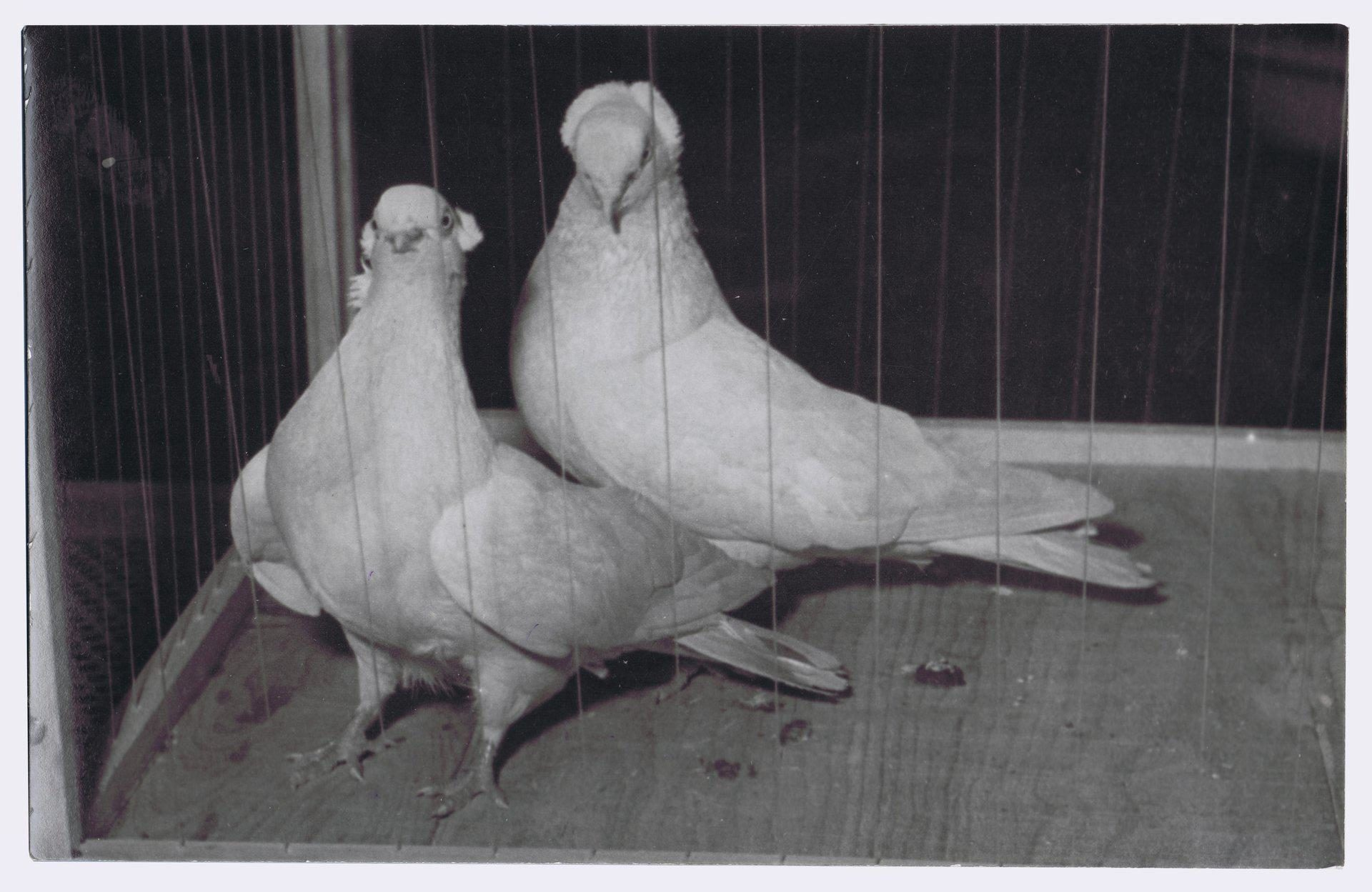 Petra Feriancová, Series Creator – From the Archive of O. Ferianc, New Breeds 1949-1952, 2008, (2/112)