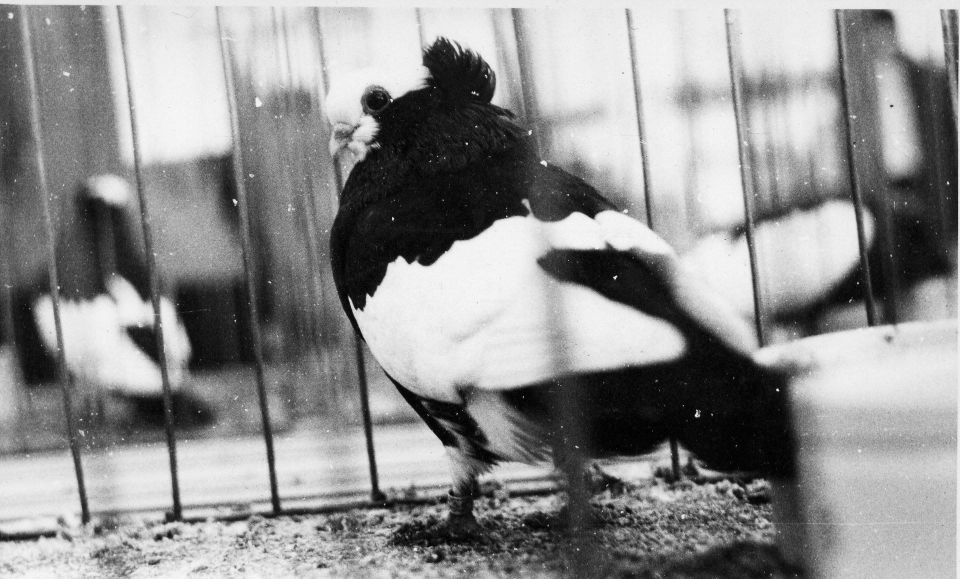 Petra Feriancová, Series Creator – From the Archive of O. Ferianc, New Breeds 1949-1952, 2008, (89/112)