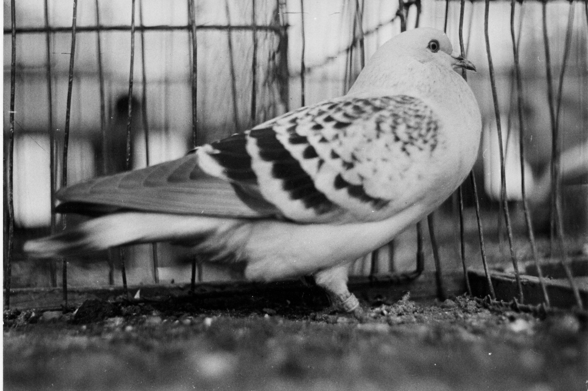 Petra Feriancová, Series Creator – From the Archive of O. Ferianc, New Breeds 1949-1952, 2008, (86/112)