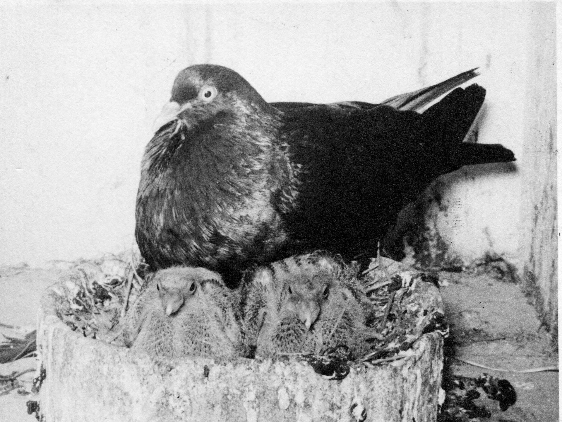 Petra Feriancová, Series Creator – From the Archive of O. Ferianc, New Breeds 1949-1952, 2008, (79/112)