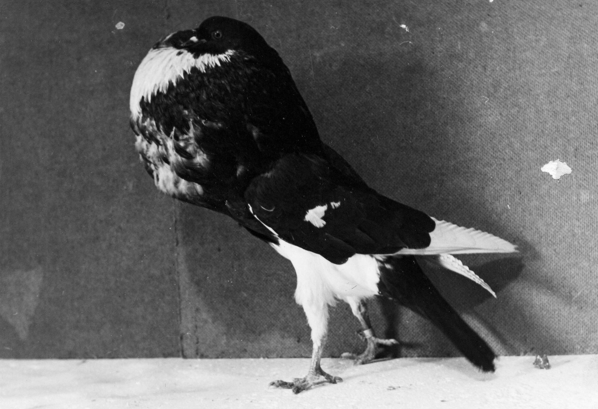 Petra Feriancová, Series Creator – From the Archive of O. Ferianc, New Breeds 1949-1952, 2008, (70/112)