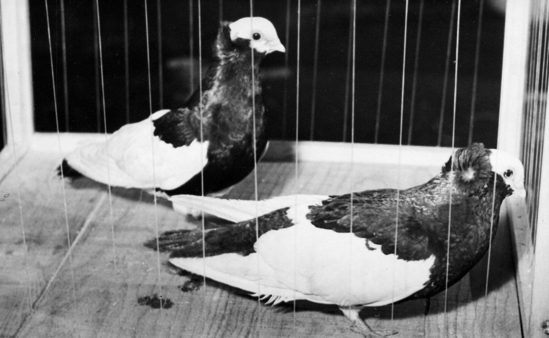 Petra Feriancová, Series Creator – From the Archive of O. Ferianc, New Breeds 1949-1952, 2008, (67/112)