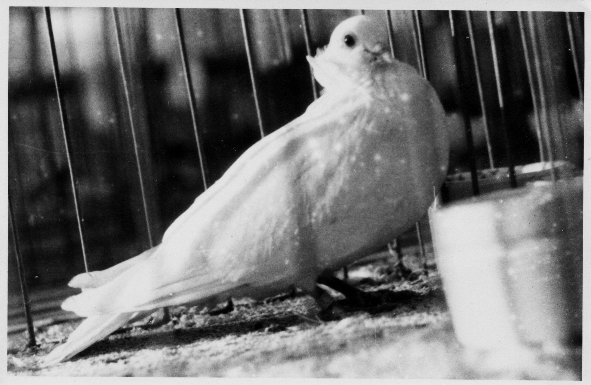 Petra Feriancová, Series Creator – From the Archive of O. Ferianc, New Breeds 1949-1952, 2008, (41/112)