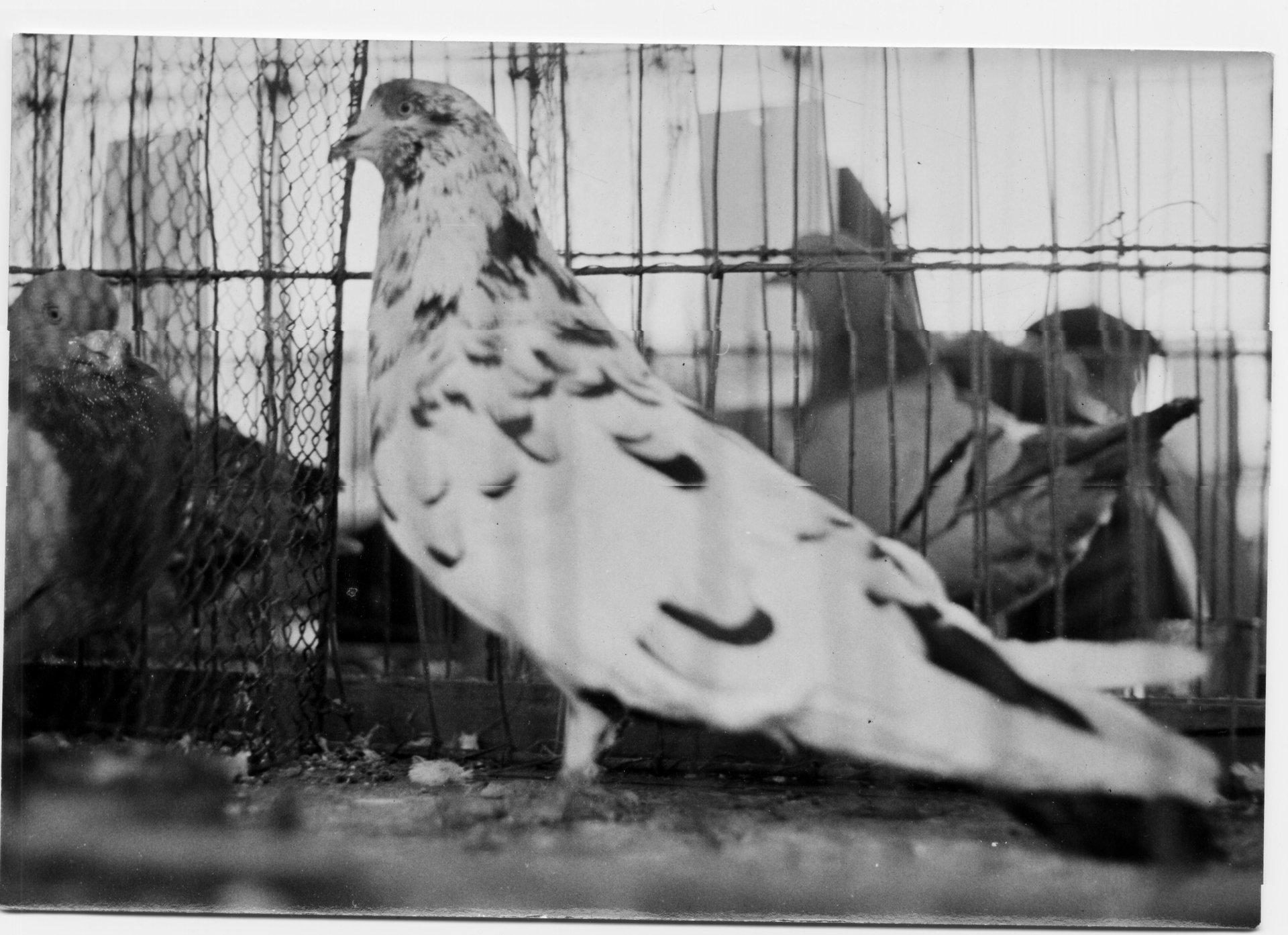 Petra Feriancová, Series Creator – From the Archive of O. Ferianc, New Breeds 1949-1952, 2008, (34/112)