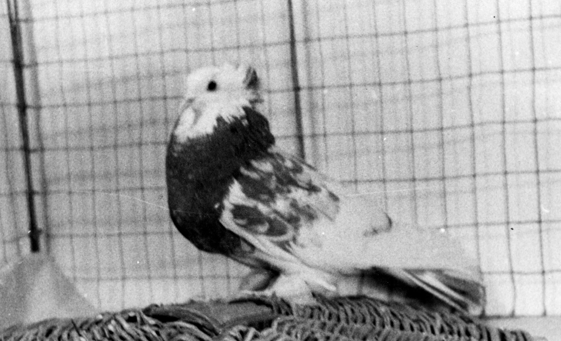 Petra Feriancová, Series Creator – From the Archive of O. Ferianc, New Breeds 1949-1952, 2008, (20/112)