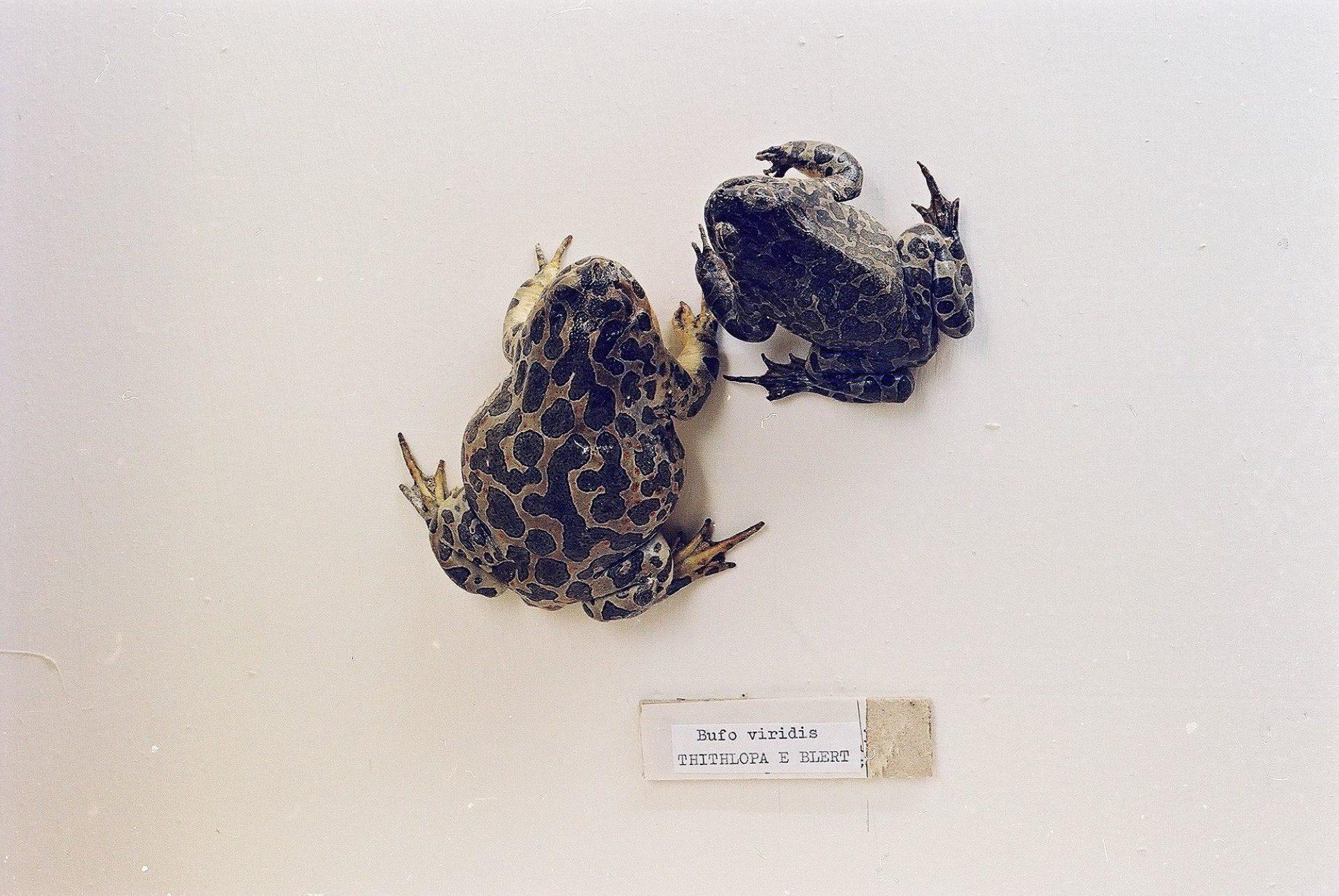 Petrit Halilaj, Special Edition (ex-Natural History Museum of Kosovo), 2013 (04/80)